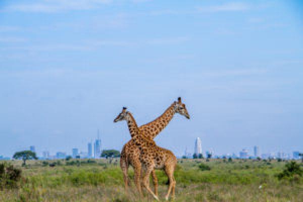 Maasai Giraffes in Nairobi National Park, on the outskirts of Nairobi, Kenya