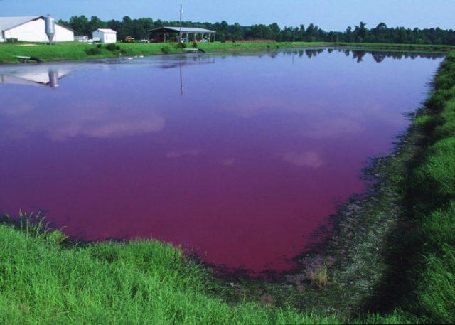 A typical manure lagoon. Public domain image courtesy USDA NRCS.