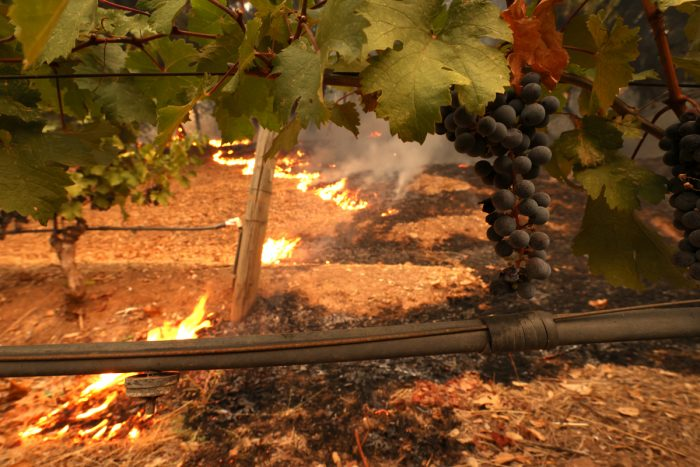 Fires from the Glass Fire burn in a vineyard in St. Helena, California, on September 27, 2020