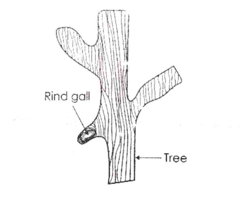 rind gall timber defect