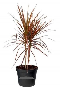RED Edged Dracaena nasa guide to air-filtering houseplants