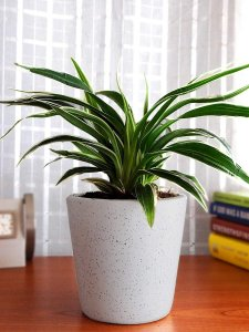 spider plant nasa guide to air-filtering houseplants