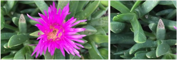 Microsoft Word - PLANT OF THE MONTHoctober16_carpobrotus_rossi.d