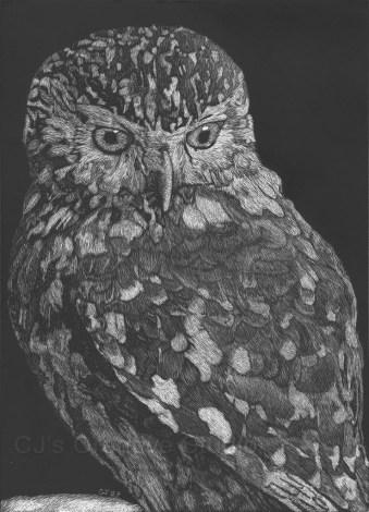 Athena's Little Owl