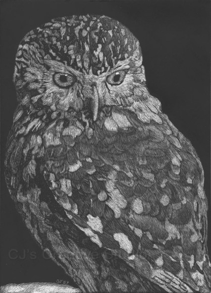 Athena's Little Owl