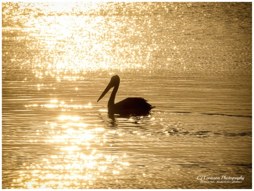 Pelican on the lake at Valentine