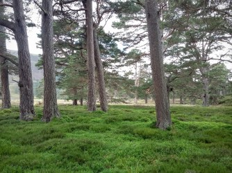 A green carpet of blaeberry under beautiful Scots pine