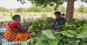 Adivasis sorting out Tendu leaves