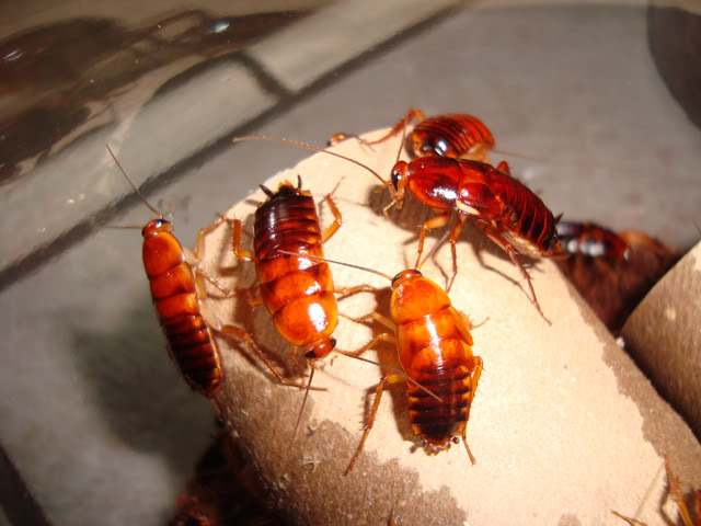 laterlis roaches