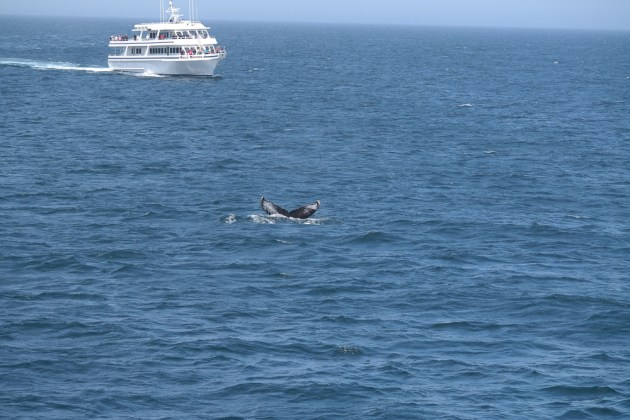 Boston Whale Watch Buckelwal Rückflosse
