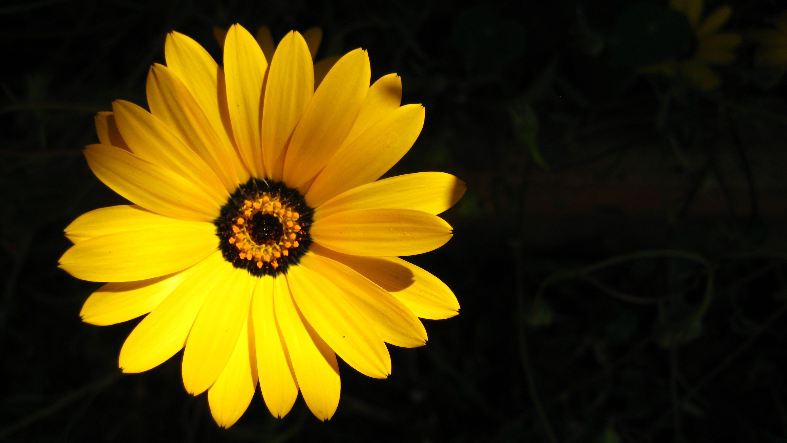 Accidental dramatic shadowed backdrop for this shot.  The flower was showing off!