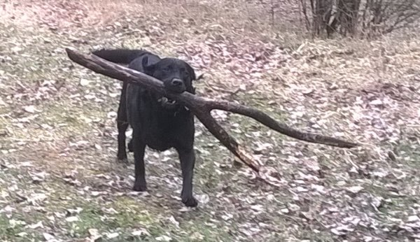 this picture shows Molly, the black labrador, carrying a small tree branch