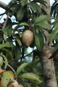 Mame fruit