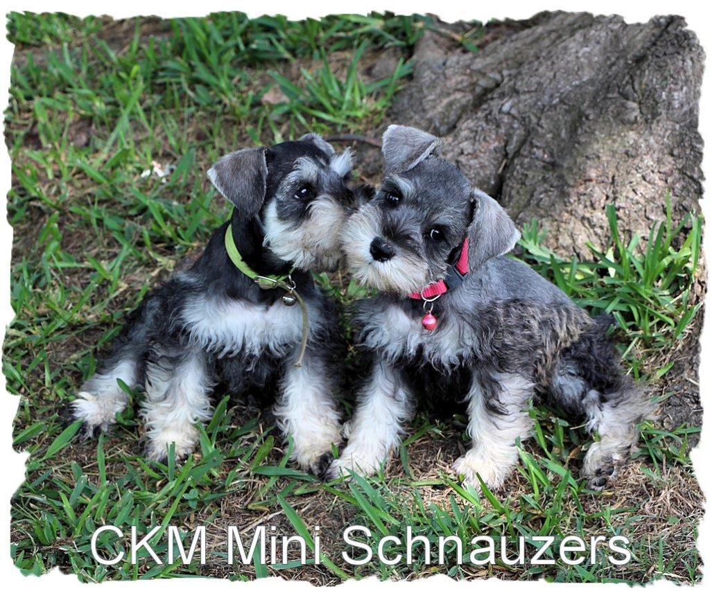 Mini Schnauzer Puppies...