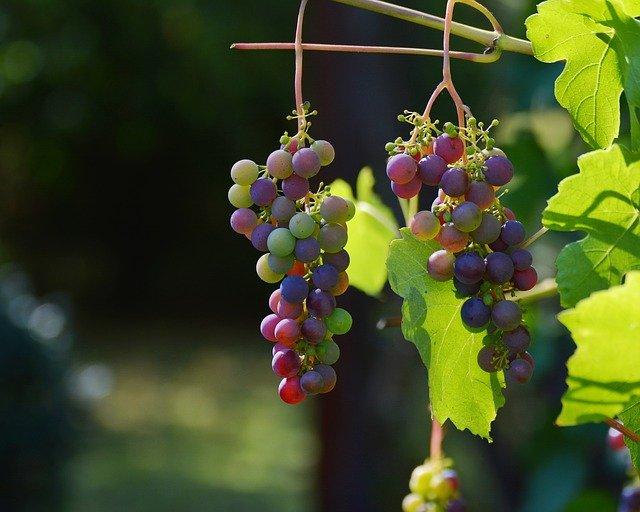 2 kiście winogron na krzaku