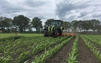 Tussen de mais schoffelen met een Claas Arion 550.