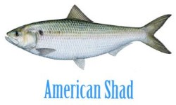 american_shad