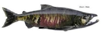 Chum Salmon -- Spawning Male