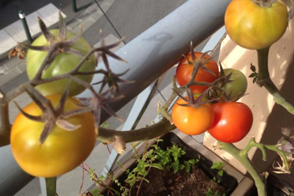 Faire pousser des tomates sur son balcon, le circuit le plus court