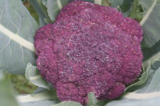 Having trouble getting your children to eat broccoli? Then have a go at growing some purple broccoli this aut/winter and watch their eyes light up at harvest time.