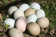 I love having a range of different chook breeds so that we have a rainbow of egg shell colours.