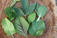 Edible Greens. This collection of greens are great to grow in the subtropics for yourself and even your chooks. Sorrel, Amaranth, Ceylon spinach, Pak Choi, Comfrey, Pigeon pea, Brazilian spinach, Chicory.
