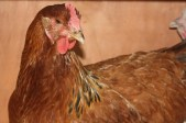 Our Buff Sussex hen Bea. I love all the Sussex, they come in a variety of colours and have wonderful personalities and are reasonable layers too.