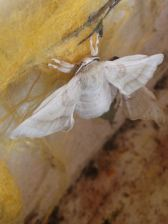 Silkworm moth just hatched