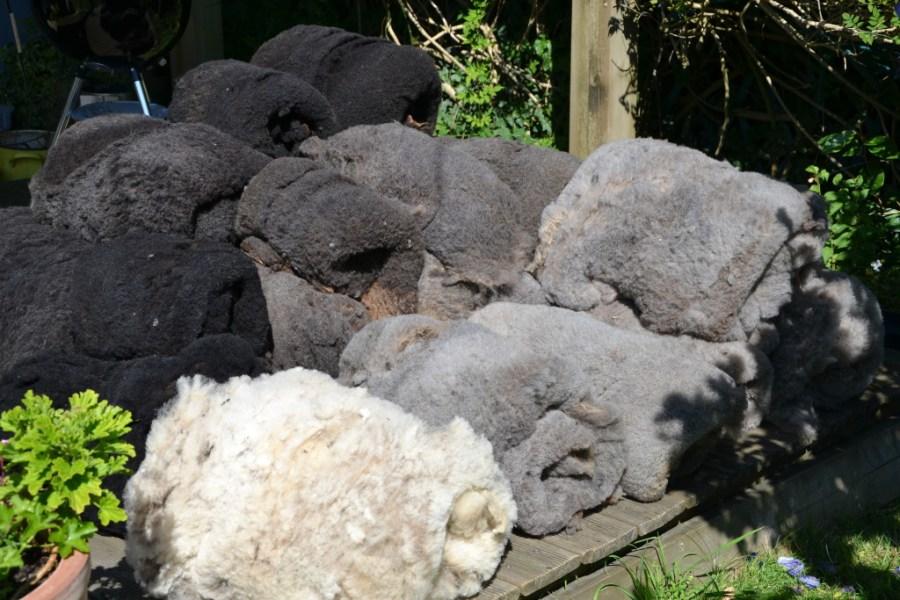 Tri des toisons des moutons d'Ouessant élevés à Quéménès