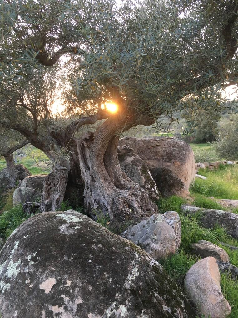olivetreespain.jpg