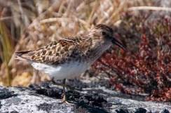Least Sandpiper in a fen - Daring Lake, NWT