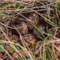 Least Sandpiper nest.