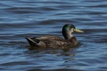 Mallard - American Black Duck Hybrid