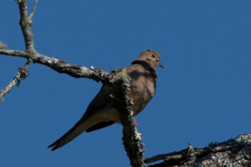 Mourning Dove - Edwin M. Griffin Nature Preserve