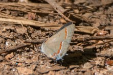 Red-banded Hairstreak - Lake Conestee Nature Park