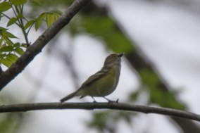 White-eyed Vireo - Edwin M. Griffin Nature Preserve
