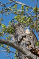 Tree Swallow - with nest cavity