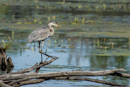 Great Blue Heron - Mud Lake, Ottawa