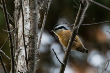 Red-breasted Nuthatch - Conroy Pit, Ottawa