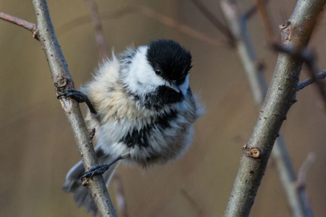 Moved to Kitchener for November and December. Continued to bird (Black-capped Chickadee).