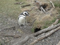 A penguin parent carefully guarding its baby (who is hiding in the nest!)