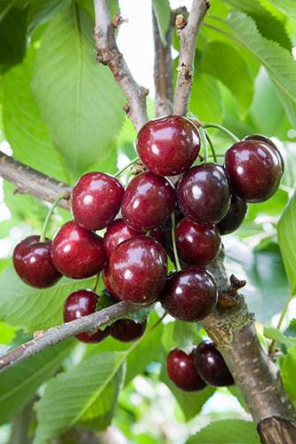 Sweet Cherry Prunus Avium Penny