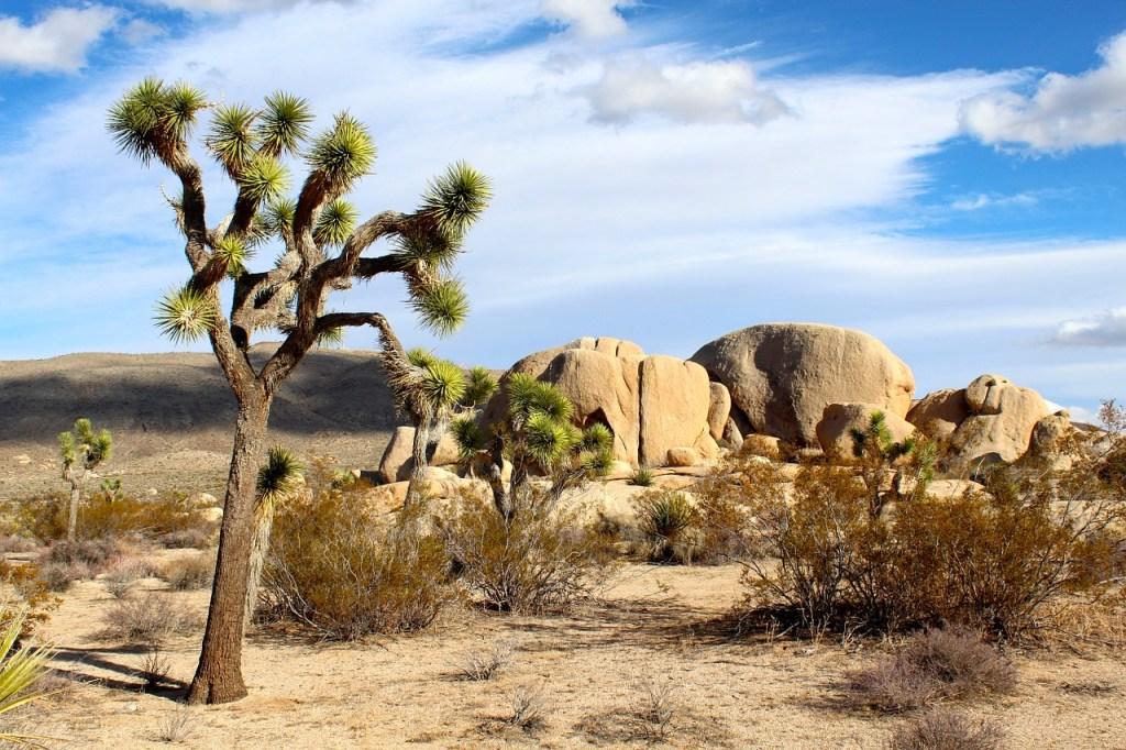 la pianta del Joshua Tree che abbiamo visto durante il viaggio in camper negli Stati Uniti