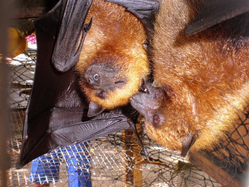 pipistrelli delle Seychelles