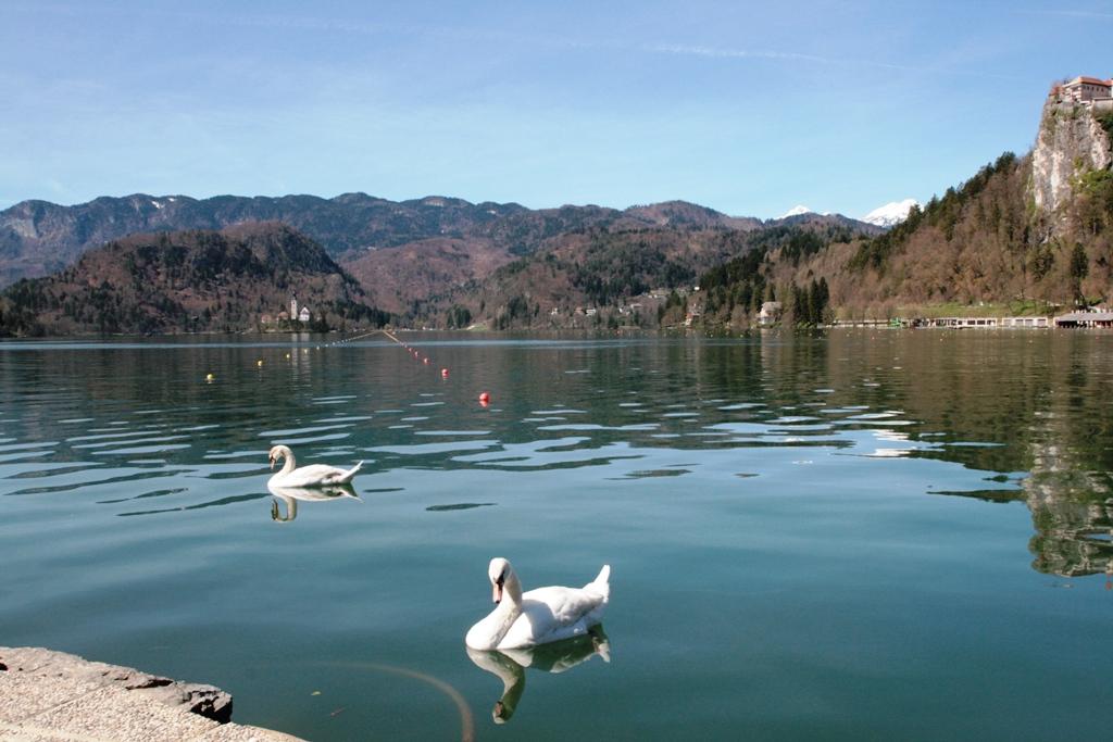 un cigno al lago di Bled