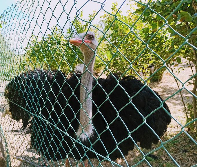 uno struzzo presso fattoria sui Nebrodi