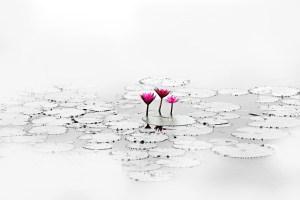 lotus-1700557_1280