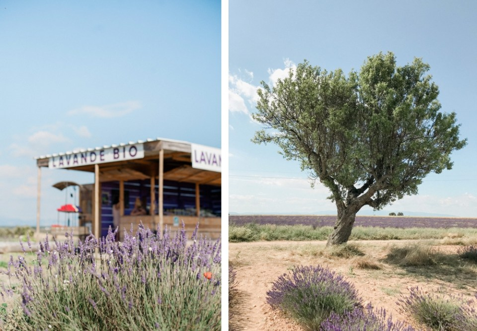 Where to see the Lavender Fields of Provence
