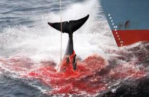 baleine sang