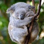 Près de 700 koalas euthanasiés en Australie